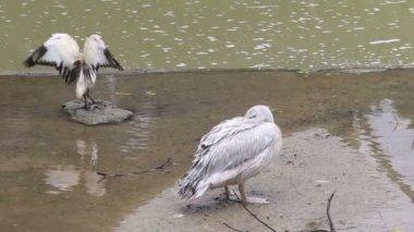Pelikan kanatları yayılır — Stok video