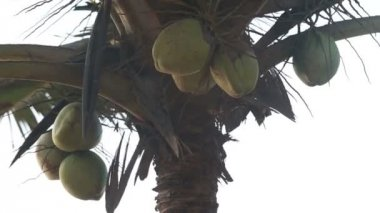 Coconuts on a palm — Stock Video