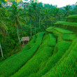 Rice fields on Bali, Indonesia. — Zdjęcie stockowe