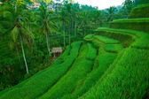 Rice fields on Bali, Indonesia. — Stock Photo