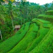 Terrace rice fields on Bali island, Indonesia. — 图库照片