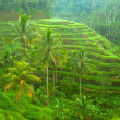 Rice fields on Bali island, Indonesia. — Stock Photo