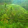 campos de arroz en la isla de bali, indonesia — Foto de Stock