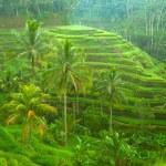 arrozais na ilha de bali, Indonésia — Foto Stock