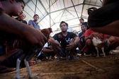 балийской традиционной петушиные бои — Стоковое фото