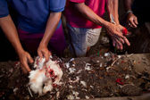 Balinese traditional cockfighting — Stock Photo