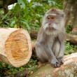A wild Monkey — Stock Photo