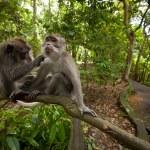 en vild apa på bali — Stockfoto