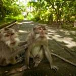 A wild Monkey on Bali — Stock Photo