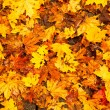 Stock Photo: Background - Beautiful Autumn Leaves.