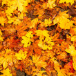 Background - Beautiful Autumn Leaves. — Stock Photo