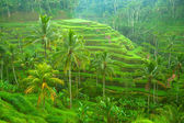 Terrace rice fields on Bali, Indonesia. — Stock Photo