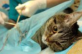 Cerrahi kastrasyon kedi banian hastanede — Stok fotoğraf