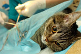Surgical castration of cat in banian hospital — 图库照片