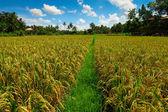 Rice fields on Bali island — Stock Photo