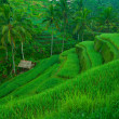 terrace rice fields, bali, indonesia — Stock Photo