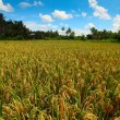 Rice fields on Bali   — Stock Photo