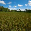 Rice field — Stock Photo #19363433