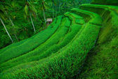 Terrace rice fields, Bali, Indonesia — Zdjęcie stockowe