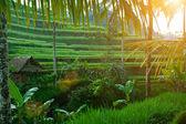 Rice terrace at sunrise — Stock Photo