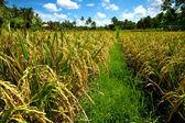 Rice fields on Bali — Stock Photo