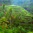 Terrace rice fields on Bali island, Indonesia. — Stock Photo