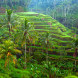 Terrace rice fields on Bali island, Indonesia. — Stock fotografie