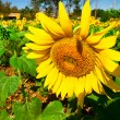 Flower of sunflowers at farm — Stock Photo