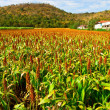 Crops, agriculture in northern Thailand — Foto Stock