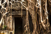 Ficus Strangulosa tree growing over a doorway in the ancient ruins at the Angkor Wat in Cambodia — Stock Photo