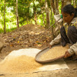 Unidentified women Orang Asli thresh rice to remove chaff — Stockfoto #31585043