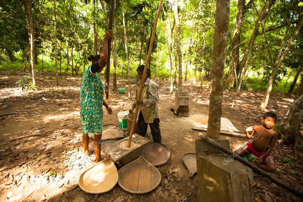 People Orang Asli Thresh Rice
