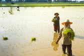 Ludzie roślina ryż w pai — Zdjęcie stockowe