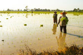 People plant a rice in Pai — Stockfoto