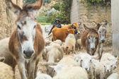 Nidentified イスラ ・ デル ・ ソル、ボリビア彼の村で羊飼いアイマラ語. — ストック写真