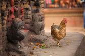 Chicken in Nepalese village. — Foto de Stock