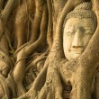 Head of Buddha in the roots of the tree, Ayutthaya, Thailand. — Stock Photo