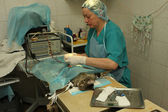 Veterinarian's office, during surgical operation — Stock Photo