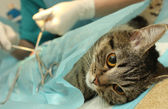 Veterinarian's office, surgical operation of cat. — Stock Photo