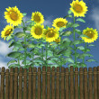 Summer Sunflowers by a garden fence — Stock Photo #47067735