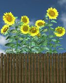 Summer Sunflowers by a garden fence — Stock Photo