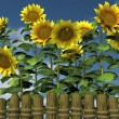 Summer Sunflowers looking over a garden fence — Stock Photo #47672459