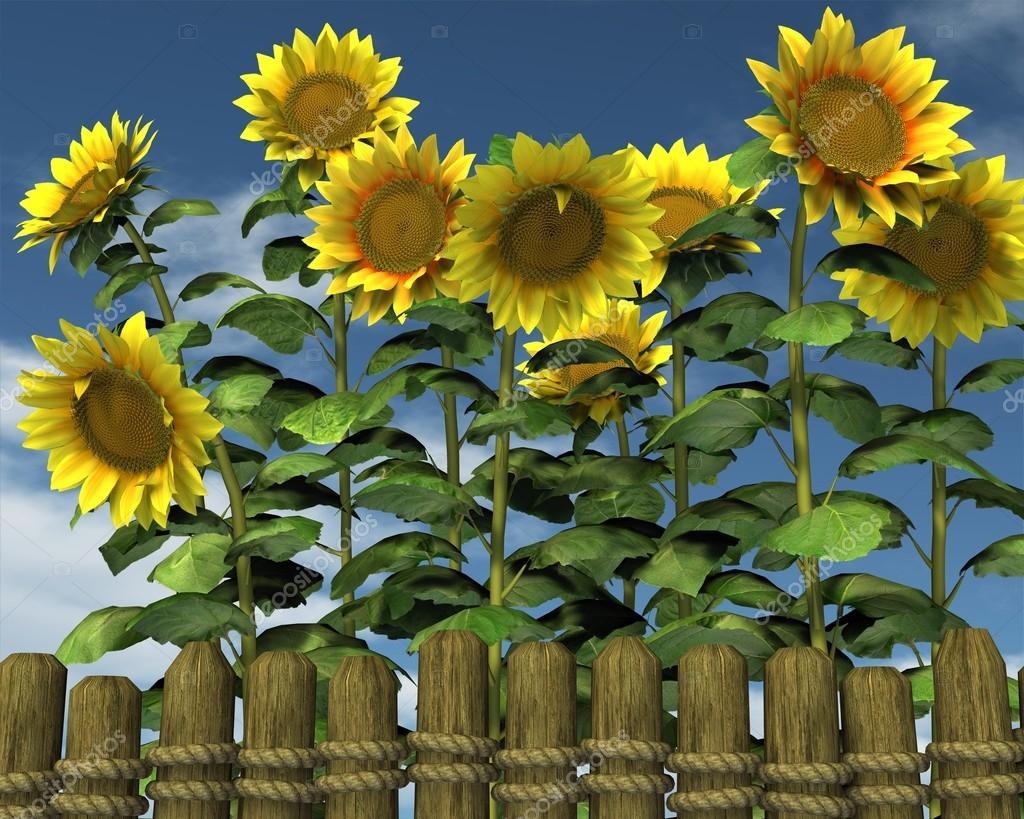 sommer sonnenblumen die ber einen gartenzaun schauen stockfoto 47672459. Black Bedroom Furniture Sets. Home Design Ideas