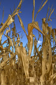 Drought Killed Corn — Stock Photo