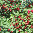 Stock Photo: Abundance of bright red berries on hawthorn bush on sunny September day.