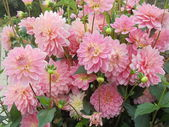 Autumn. A bunch of pink dahlias in the park. — Stock Photo