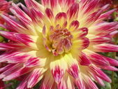 Close-up. Blossoming dahlia on a sunny September day. — Stock Photo