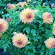 Stock Photo: Autumn colours. September gorgeous blossoming dahlias.