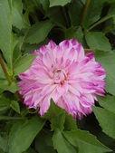 Dahlia de floraison lilas septembre parmi les feuilles vertes. — Photo