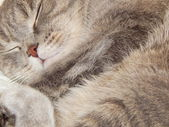 The Grey Cat sleeping — Stock Photo